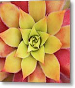 Sempervivum Chick Charms Gold Nugget Metal Print