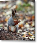 Shadow Boxing. Red Squirrel Metal Print
