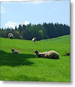 Sheep And Lambs In A Field Metal Print