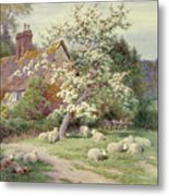 Sheep Outside A Cottage In Springtime Metal Print