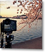 Shooting Cherry Blossoms In Washington Metal Print