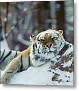 Siberian Tiger At The Bronx Zoo Is Metal Print