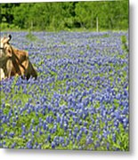 Single Cow Resting In A Field Of Texas Metal Print