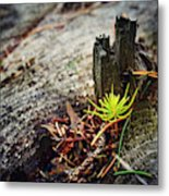 Small Spruce Growing On An Old Tree Stump Metal Print