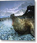 Southern Elephant Seal Mirounga Leonina Metal Print