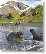 Southern Elephant Seal Pup Barking At Metal Print