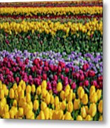 Spectacular Rows Of Colorful Tulips Metal Print
