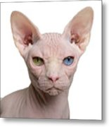 Sphynx Cat, 1 Year Old, In Front Of Metal Print