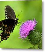 Spicebush Swallowtail Butterfly Metal Print