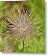 Spiky Plant Pulsatila Halleri Metal Print