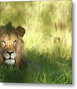 Staring Lion In Field Of Grass With Metal Print
