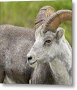 Stone's Sheep Ram Metal Print