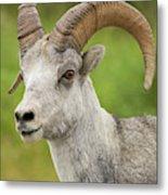 Stone's Sheep Ram Portrait Metal Print