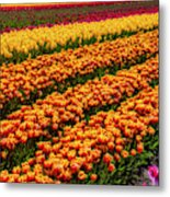 Stunning Rows Of Colorful Tulips Metal Print