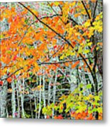 Sugar Maple Acer Saccharum In Autumn Metal Print