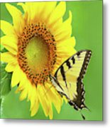 Sunflower And Swallowtail Metal Print