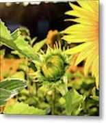 Sunflower Bloom Metal Print