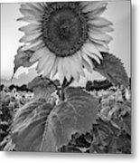 Sunflowers 10 Metal Print