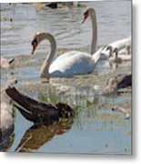 Swan Family Outting  Metal Print