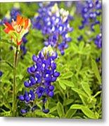 Texas Bluebonnets In Spring Meadow Metal Print