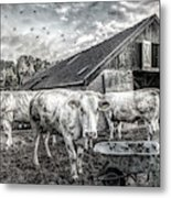 The Cows Came Home Black And White Metal Print