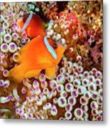 The Fiji Clownfish  Amphiprion Barberi Metal Print