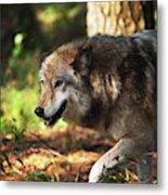 The Gray Wolf Metal Print