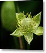 Thimbleweed Flower Metal Print