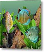 Three Discus Fish Metal Print