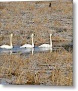 Three Trumpetor Swans 0629 Metal Print