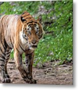 Tiger On A Stroll Metal Print