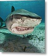 Tiger Sharks Galeocerdo Cuvier Are Metal Print