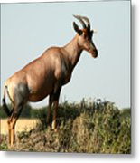 Topi  Standing In The Grasslands Of The Metal Print