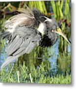 Tricolored Heron With Ruffled Feathers Metal Print
