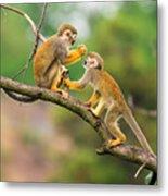 Two Common Squirrel Monkeys Saimiri Metal Print