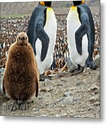 Two King Penguins And A Chick Metal Print