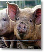 Two Pigs On  Farm Metal Print