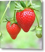 Two Ripe Red Strawberries On The Vine Metal Print