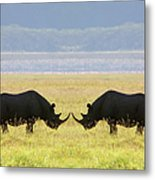 Two White Rhinoceros Face To Face On Metal Print