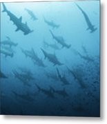 Underwater View Of Scalloped Hammerhead Metal Print