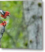 Usa, Wa Red-breasted Sapsucker Metal Print