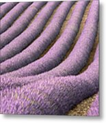 View Of Cultivated Lavender Field Metal Print