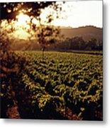 Vineyard, Napa Valley, California, Usa Metal Print