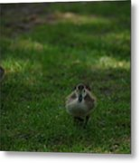 Waddling Ducklings Metal Print