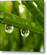 Water Drops On Wheat Leafs Metal Print