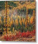 Western Larch Forest Autumn Metal Print