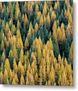 Western Larch Forest Metal Print