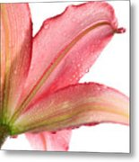 Wet Pink Lily From Below Against White Metal Print