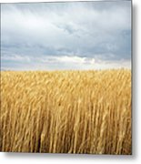 Wheat Field Under Dark Clouds Metal Print