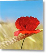 Wheat Stalks And Poppy With Blue Summer Metal Print
